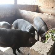 富硒黑猪肉