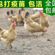 正宗江汉高产土鸡苗 绿色生态纯种散养土蛋鸡 农家富硒土鸡苗批发