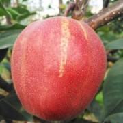 全年批发富硒红梨 无公害多味甜蕴硒红梨 生津解渴新鲜香脆梨